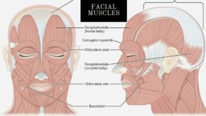 facial-muscle-image